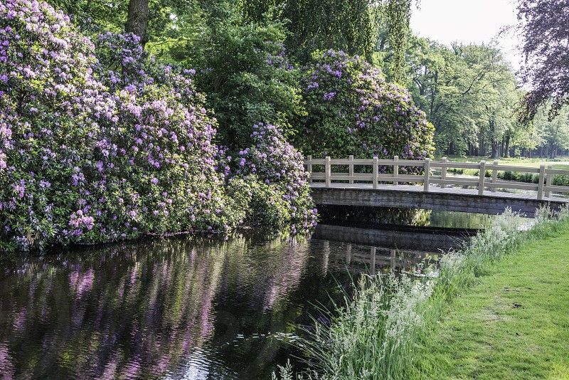 rhododendrons and wooden bridge reflect in water in nature area near Baarn in Holland photo
