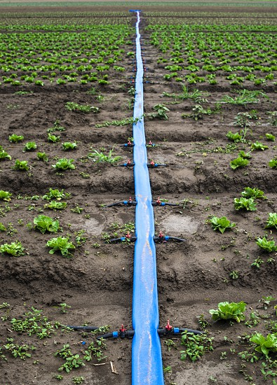 Planted agriculture land and pipe for watering. Iceberg lettuce plants. photo
