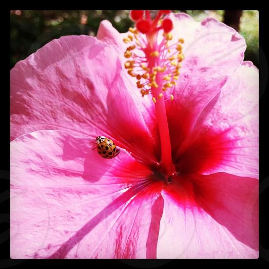 Nature ladybug flower amapola  photo