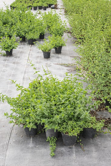 Mint in pots in spices farm photo