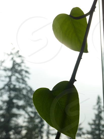 leaf hearts on a string photo