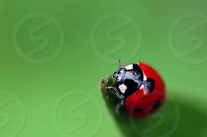 Ladybird over green photo