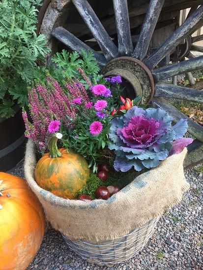 Autumn Cale heather flower basket pumpkin chestnut photo