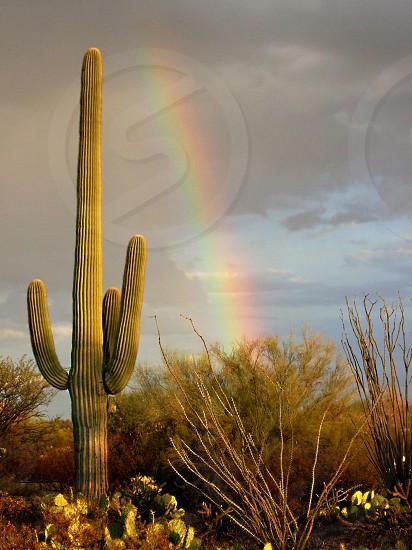 A rainbow appears behind a saguaro cactus in the Arizona desert. photo