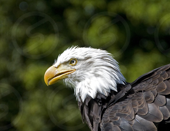 sea eagle on a bird show with blur background photo