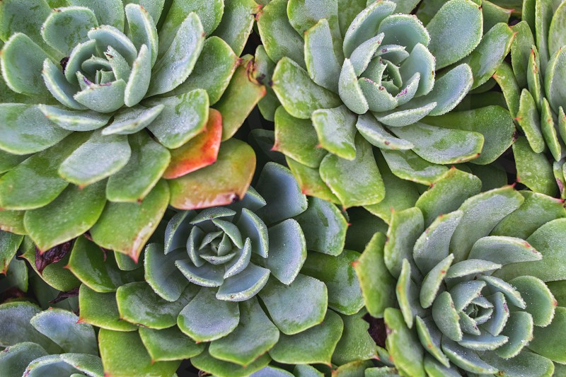 Succulents in garden of guesthouse Kathmandu Valley Nagarkot Nepal photo