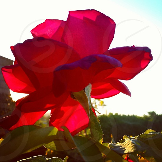rose red rose flower garden summer pink red thorns flowers photo