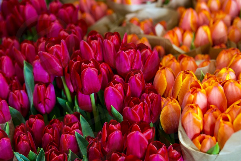 Pink orange tulips photo