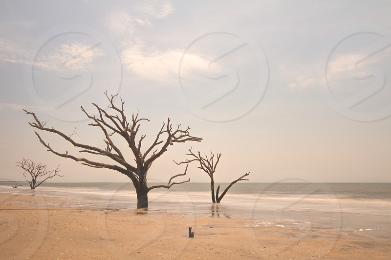 Dead trees at the edge of the ocean photo