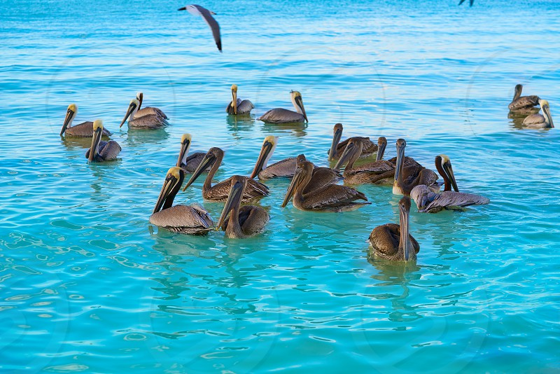 Pelican birds swimming in Caribbean beach of Mexico photo