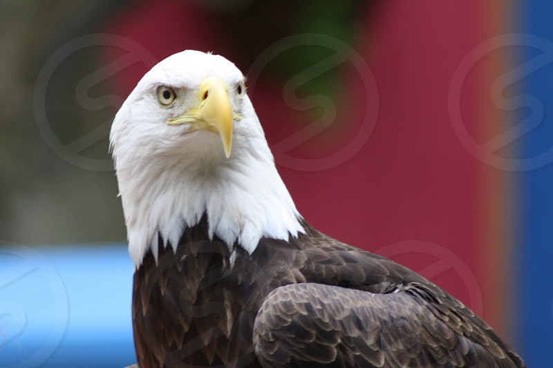 Bald Eagle red and blue background photo