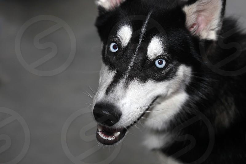 white black long hair large dog photo