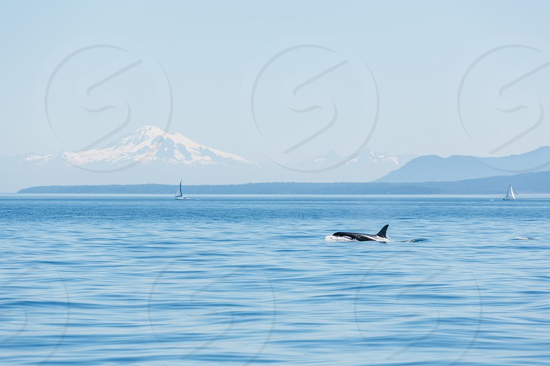 Orcas - San Juan Islands photo