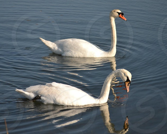 two white swans in water photo