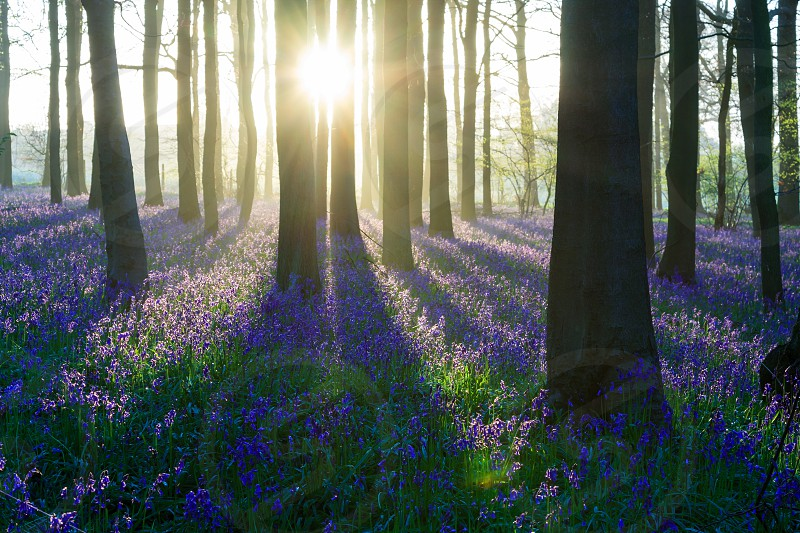 Spring colors seen in the morning during sunrise in a wood carpeted with blue - violet bluebell flowers. photo