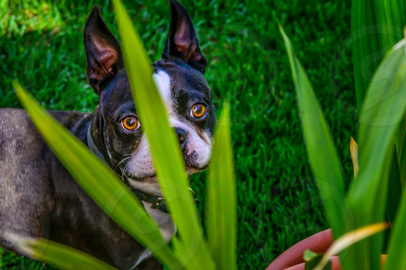 terrier did camouflage grass photo