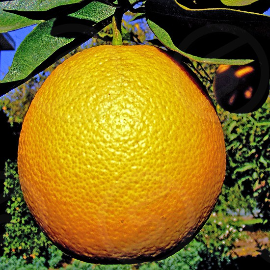Close up of an orange growing on a tree photo