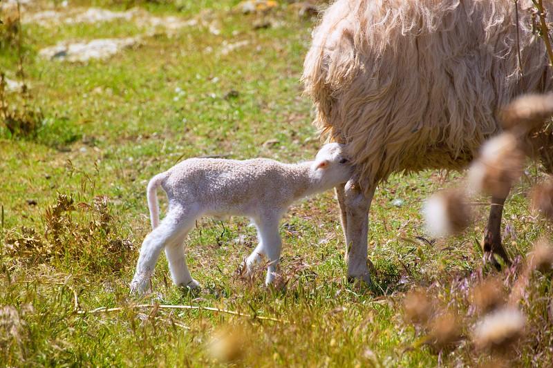 Mother sheep and baby lamb nursing in Menorca field photo
