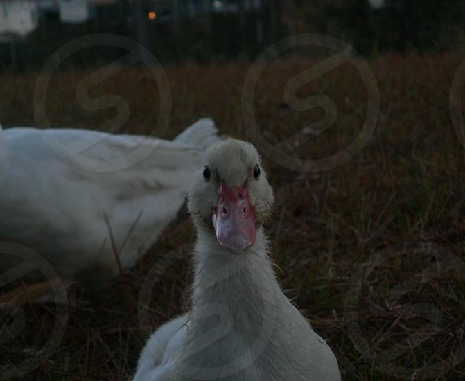 Baby duck. photo