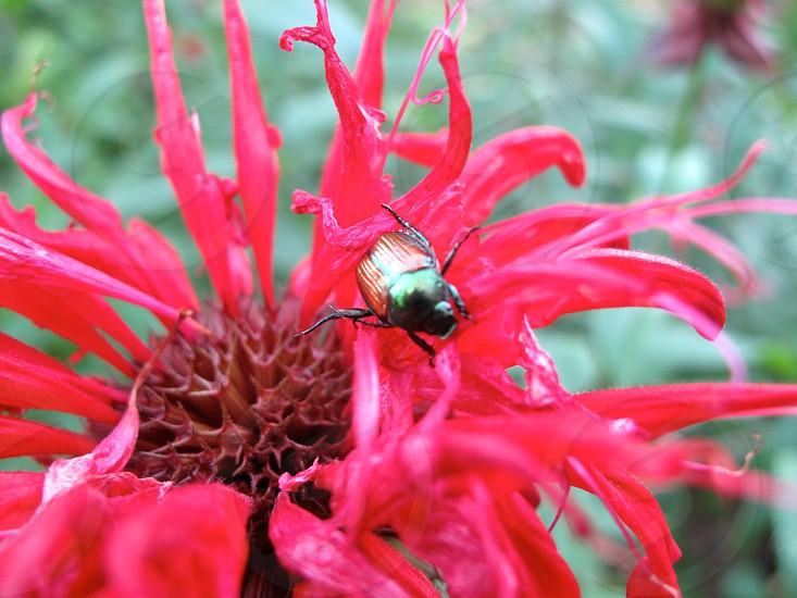 flora fauna red flower bug insect beetle photo