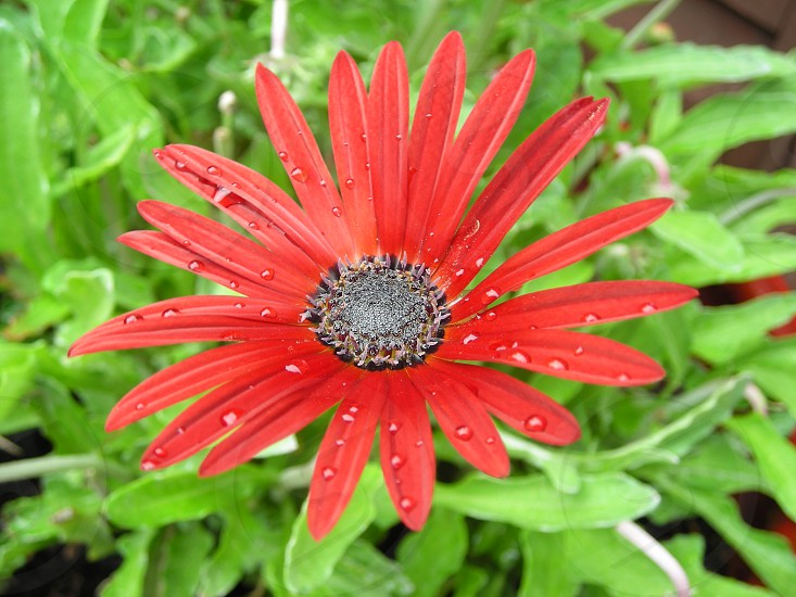 a red flower and morning dew photo