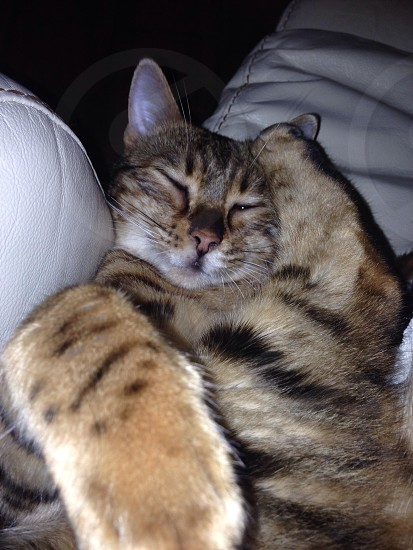 Bengal cat sleeping photo