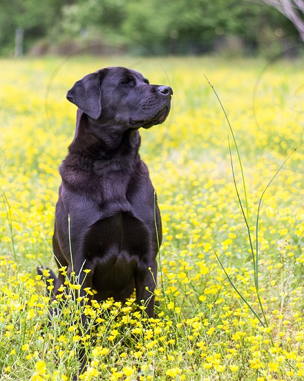 Dogs black lab smell spring summer flowers yellow yellow flowers field relaxing  photo