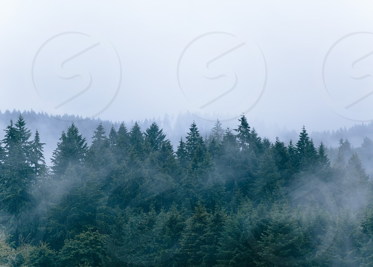 pine trees with fogs photo