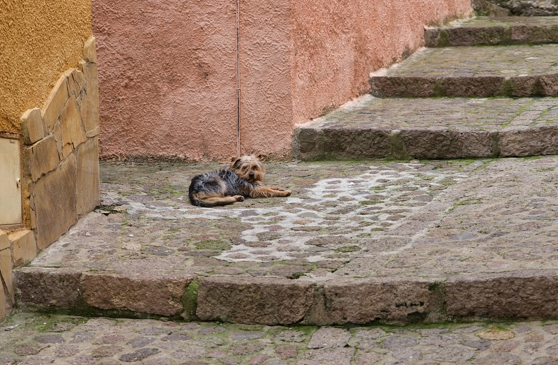 young yorkshire terrier dog laying down on the stairs in the street of castelsardo italy photo