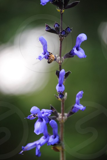 blue flowers macro photograph photo