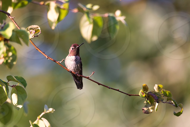 Anna's Hummingbird Color Image Day Northern California USA photo