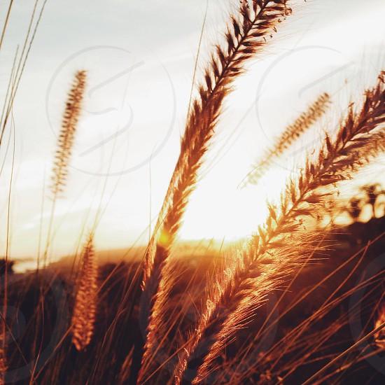wheats plant photo