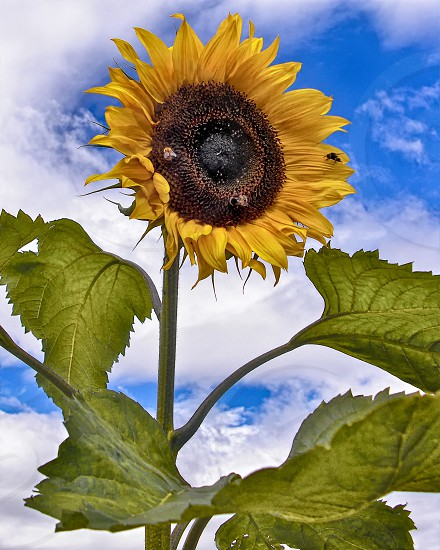 Bold bright yellow sunflower hosting a bee.  Bright yellow and green flower and leaves against a bright blue sky with white clouds. photo