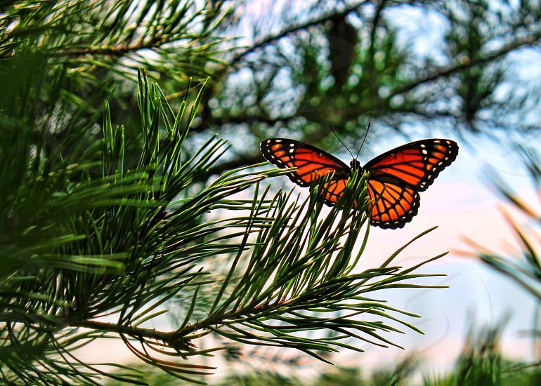 butterfly in pine tree photo