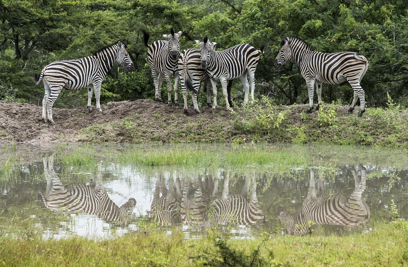 group of zebras with reflection in the water during a walk safari guided by a ranger in kruger national park in south africa  photo