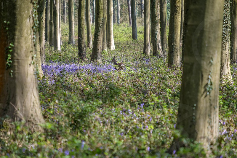 Bluebells in Wepham Wood photo