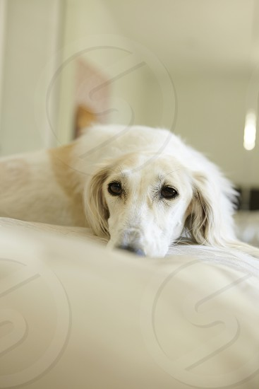 saluki dog white bed sleepy day light natural light fluffy cute  photo