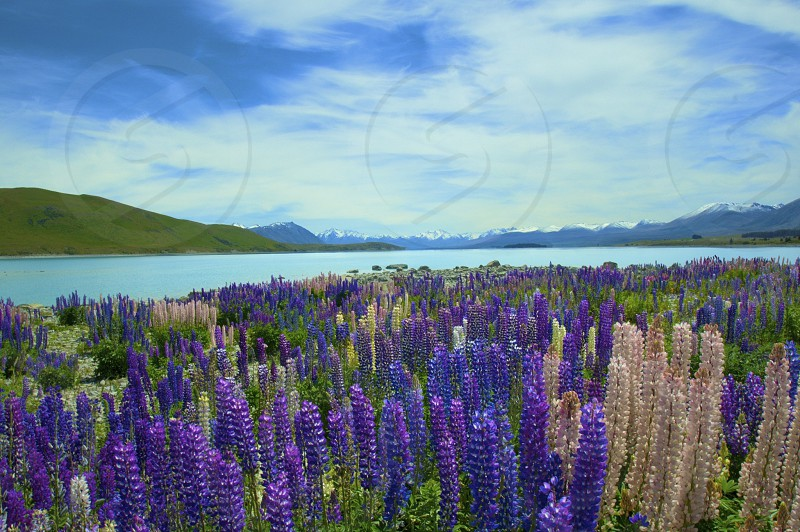 Lake Tekapo Lupins New Zealand photo