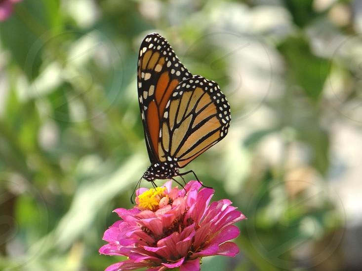 monarch butterfly flower photo