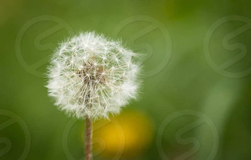 Dandelion on a green field  photo
