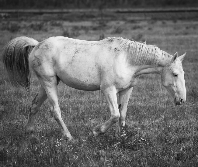 grayscale photography of white horse walking on the field of grass photo
