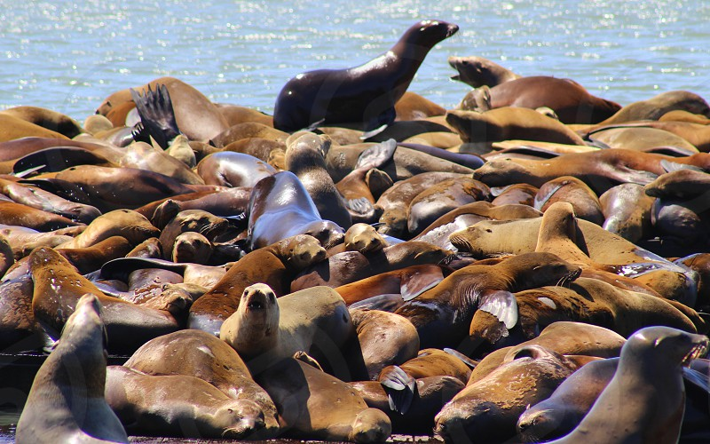 Shot of sea lions at Pier 39 in Fisherman's Wharf photo