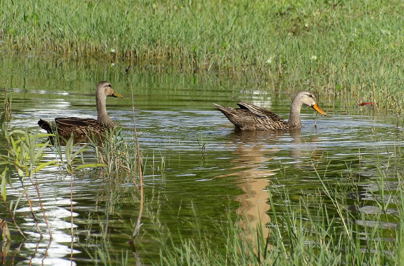 two ducks and two dragonflies floating on pond photo