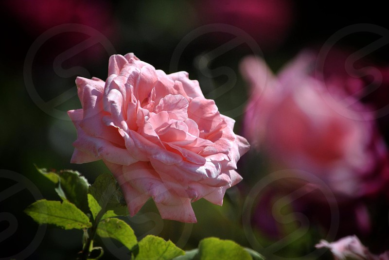 pink carnation flower in shallow focus photo