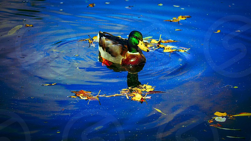 male mallard duck on body of water surrounded by leaves photo