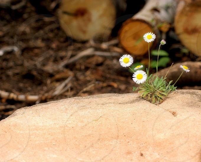 Perseverance new beginnings inspiration flowers rocks logs firewood photo