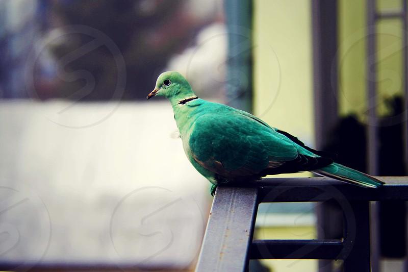 Green dove pigeon nature fly bird  photo