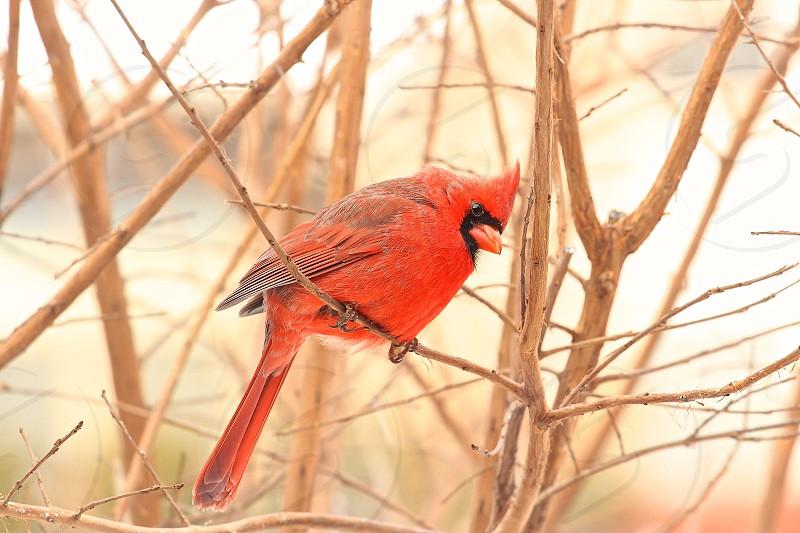 Cardinal Male Wildlife red vibrant photo