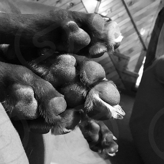 Dog paw paw prints black and white sleeping pet sleeping dog photo