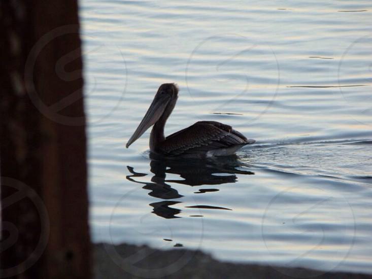 Pelicans of the sea .... photo